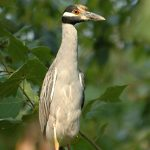 Photo of yellow-crowned night heron