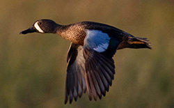 photo of blue-winged teal
